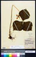 Trillium cernuum image