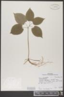 Croomia pauciflora image
