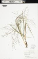 Eragrostis spectabilis image