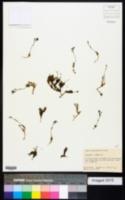 Draba streptobrachia image