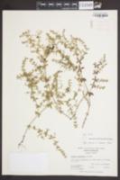 Galium hispidulum image