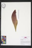 Image of Sarracenia x chelsonii