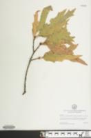 Quercus x heterophylla image