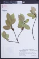 Cassipourea guianensis image