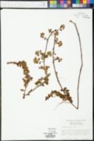 Ludwigia pilosa image