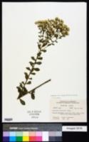 Eupatorium linearifolium image