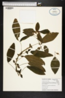 Image of Acalypha aristata