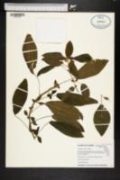 Image of Acalypha aristata