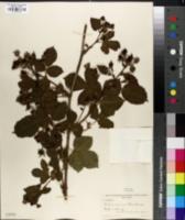 Rubus orarius image