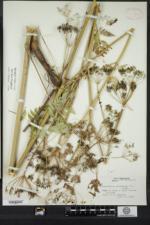 Anthriscus sylvestris image