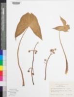 Image of Sagittaria montevidensis