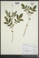 Agrimonia pubescens image