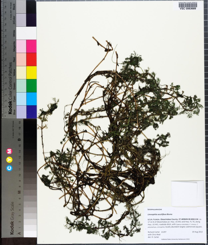 Limnophila image