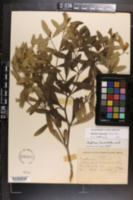 Image of Baptisia lanceolata