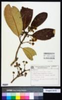 Image of Myrceugenia reitzii