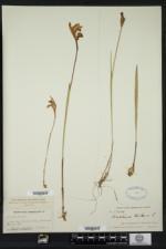 Arethusa bulbosa image