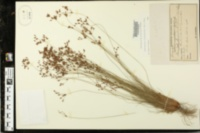 Bulbostylis ciliatifolia image