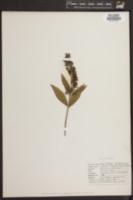 Syringa pubescens image