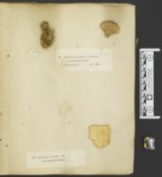 Sidera vulgaris image