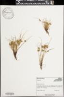 Image of Cyperus squarrosulus
