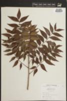 Image of Pistacia vera