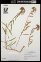 Eremothera boothii subsp. boothii image