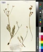 Image of Lomatium engelmannii