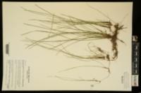 Eleocharis wolfii image