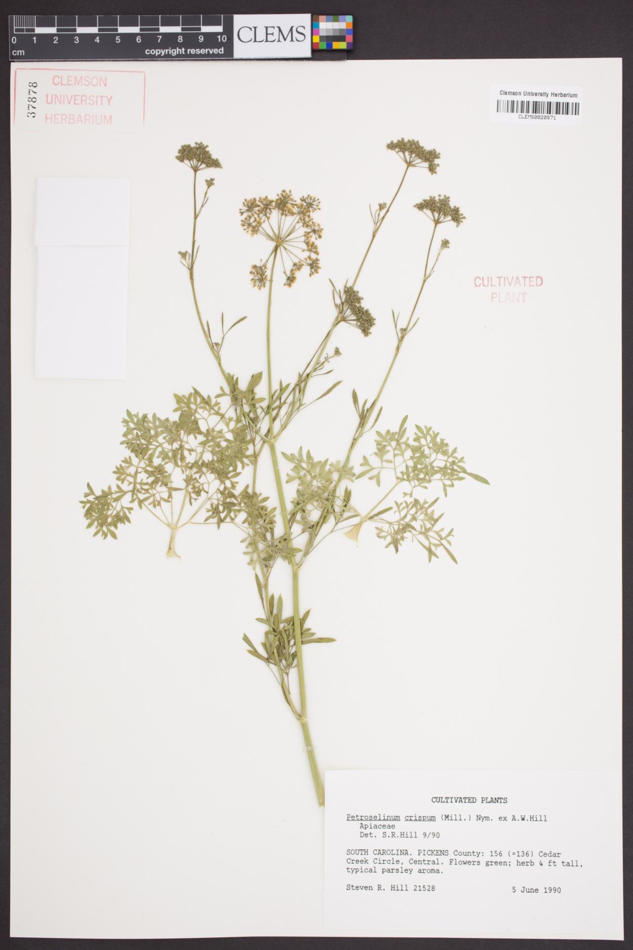 Petroselinum image