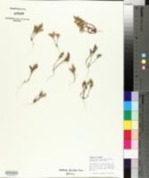 Loeflingia squarrosa image