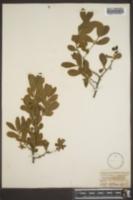 Diospyros texana image