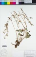 Geranium retrorsum image