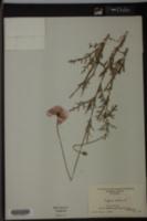Papaver dubium image