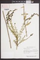 Aureolaria laevigata image
