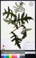 Echinops ritro image