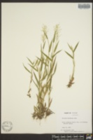 Image of Panicum hirstii