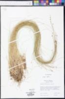 Eleocharis quadrangulata image