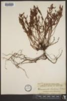 Image of Chamaecrista simpsonii