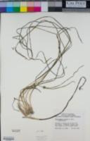 Phyllospadix torreyi image