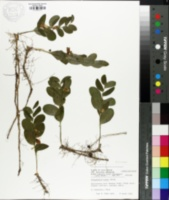 Image of Polygonatum humile