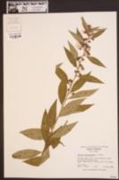 Decodon verticillatus image