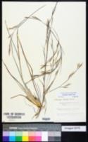 Andropogon capillipes image