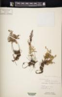 Myriopteris lendigera image