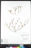 Githopsis pulchella image