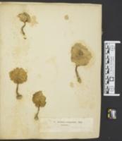 Agaricus clypeolarius image
