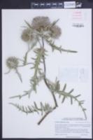 Image of Cirsium eriophorum