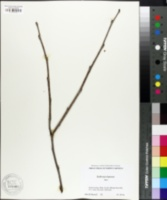 Image of Dalbergia hupeana