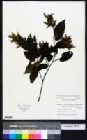 Carpinus caroliniana subsp. caroliniana image