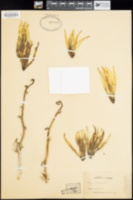 Image of Yucca canaliculata