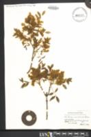 Image of Fraxinus ornus